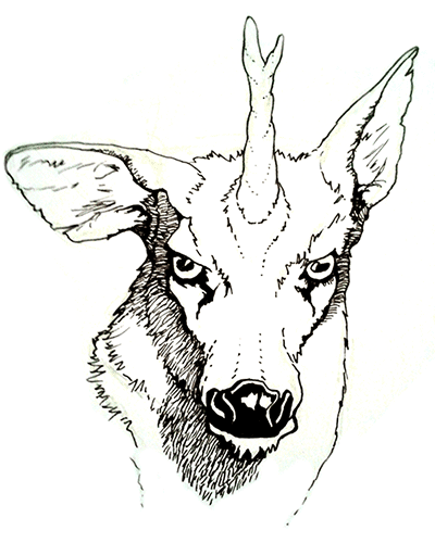 A pen and ink drawing of a deerlike creature with a horn, looking straight out at the audience, with half-lidded narrow eyes. One ear is raised and the other is askew, both ragged and notched.