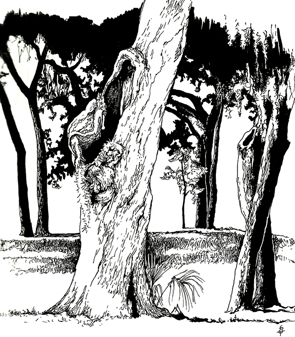 A pen and ink sketch of a tall, gnarled treetrunk with a big hole partway up where a limb fell off long ago. In the background is a row of trees of all sizes, with the lowest fronds of their canopies just visible across the top of the picture. The smallest is a tiny sapling.