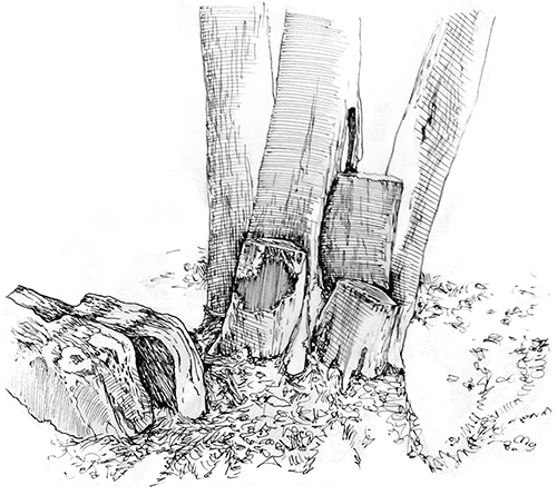 A pen-and-ink drawing of a cluster of tree trunks, with two of them cut off into stumps, and two boulders nearby.